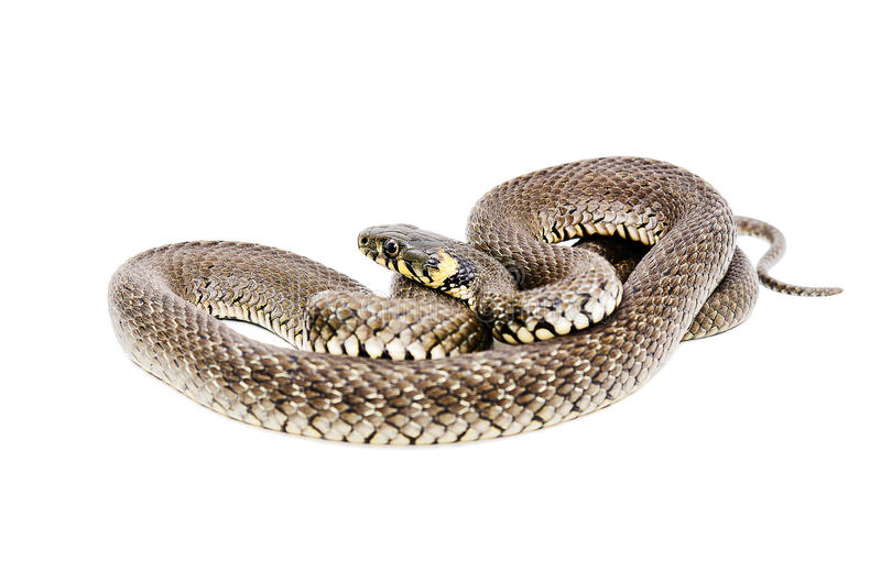 Snake. Isolated on white background royalty free stock photography