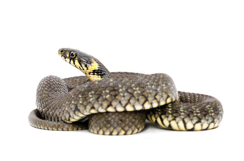 Snake. Isolated on white background royalty free stock photos