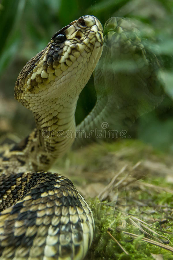 Snake. And its image on the transparent glass royalty free stock images
