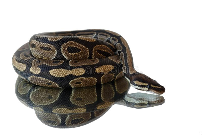 Snake and its reflection. Lies on the mirror stock image