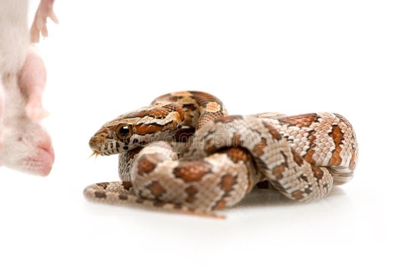 snake kukurydziany zdjęcie royalty free