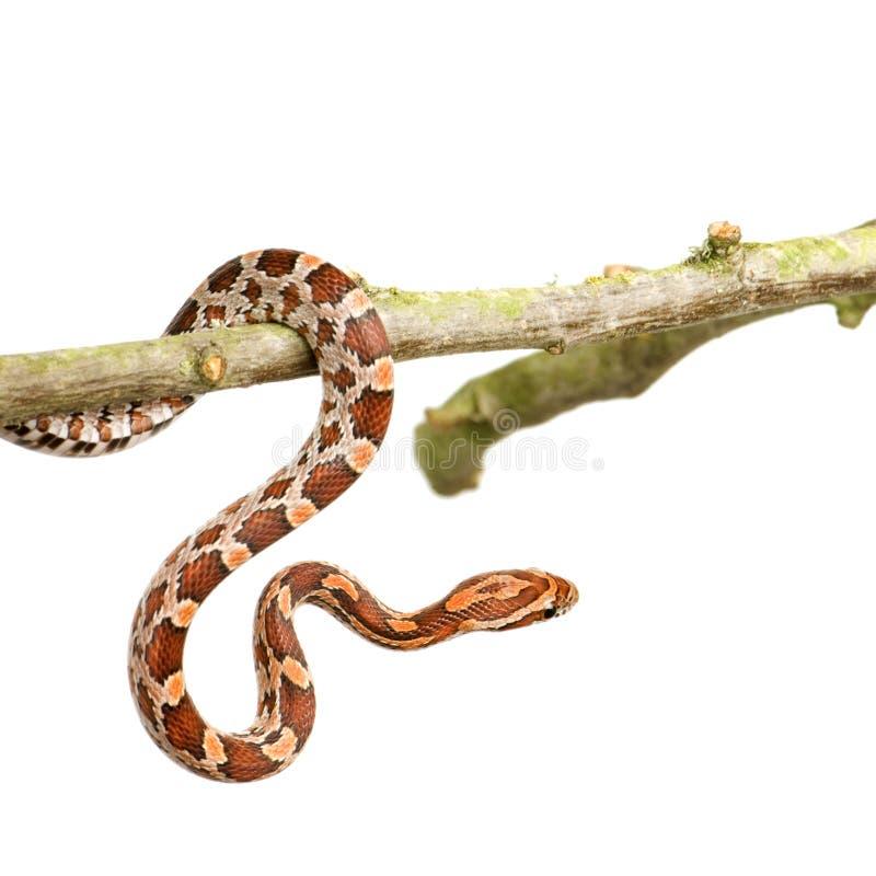 snake kukurydziany zdjęcia royalty free