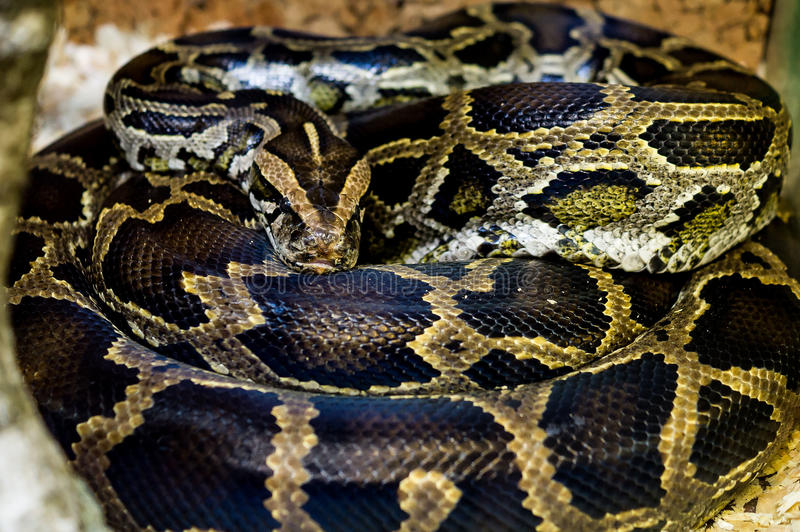 Snake. Snake (lat. Serpentes) is a suborder of the class of reptiles the squamates order. Snakes inhabit all continents, except Antarctica and a few large royalty free stock photos