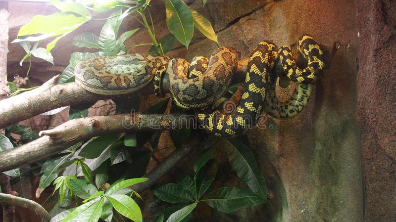 Snake lies on a branch and backs in the sun. A beautiful snake lies on a branch and basks in the sun stock images