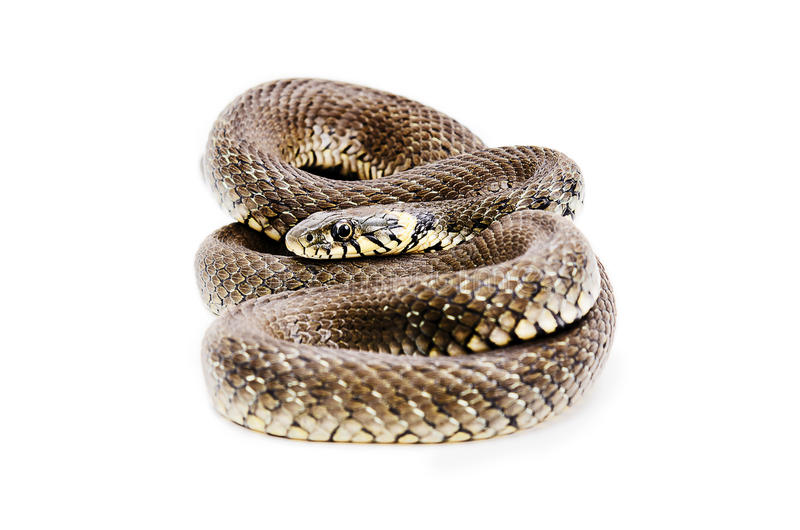 Snake. Lying isolated on white background stock photos