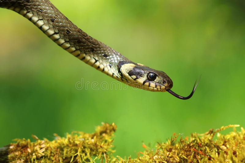 Snake Natrix natrix. Scaly snake Natrix natrix in spring stock photography