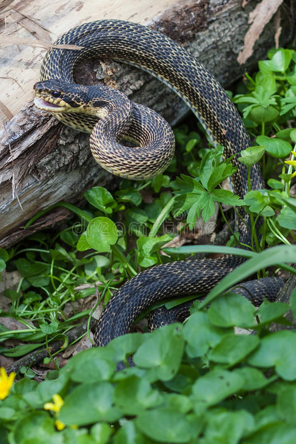 Download Snake in natural habitat stock photo. Image of creepy - 24579364