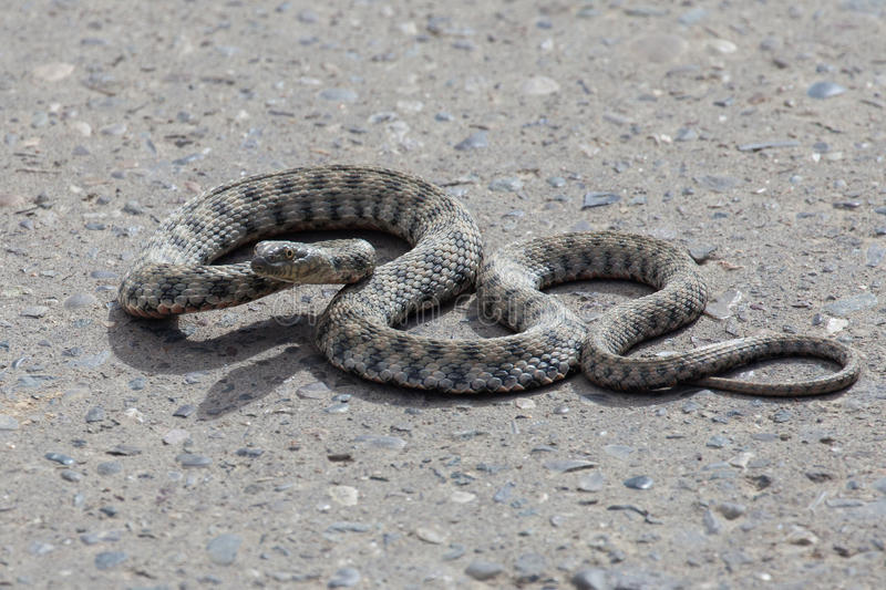 Snake on the pavement stock photography