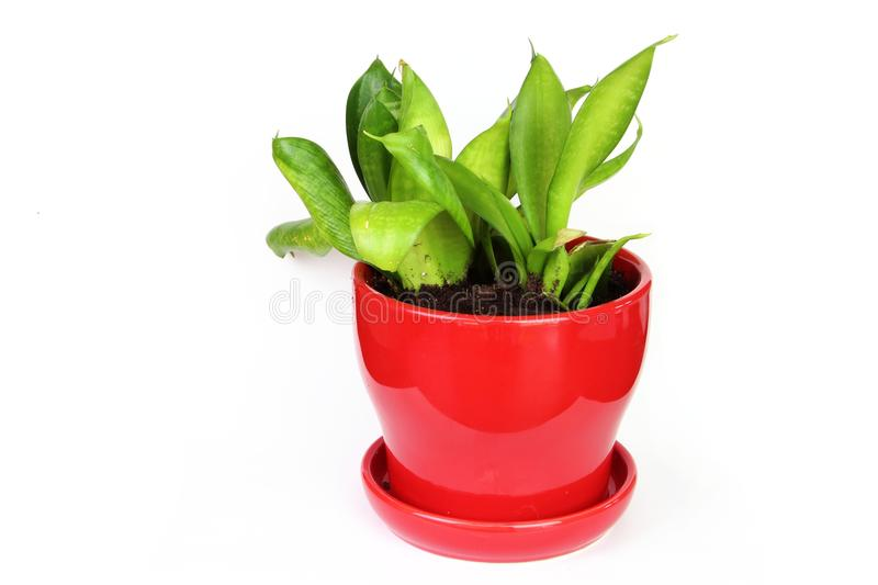 Snake plant royalty free stock photos