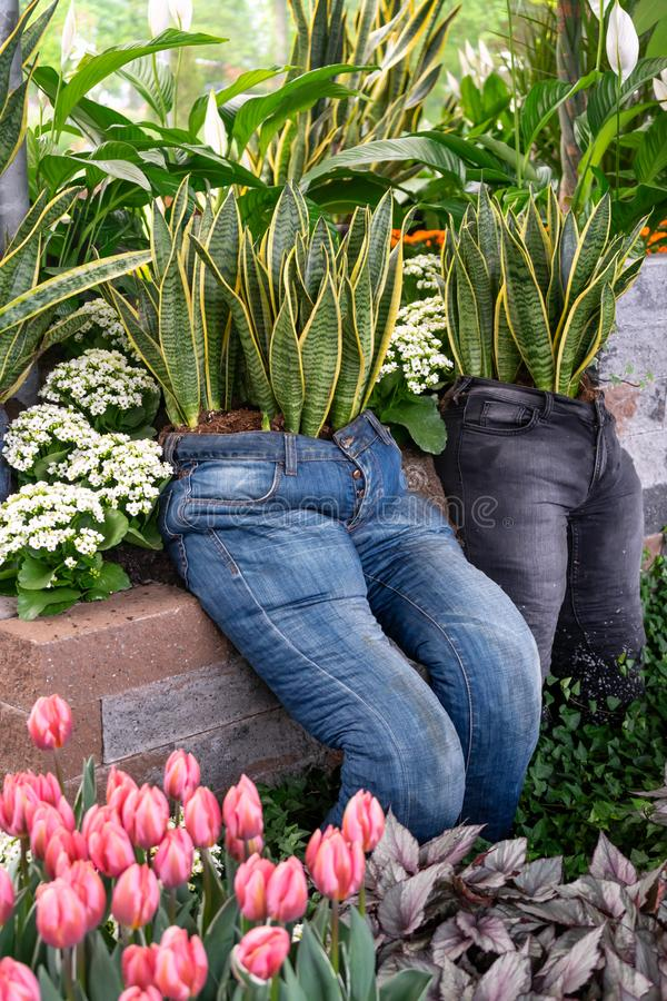Snake plant, Sansevieria garden decore installation in old recycled denim jeans planter. royalty free stock photography