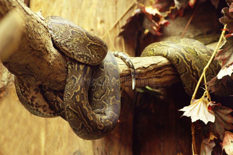 Download Snake pytona brown zdjęcie stock. Obraz złożonej z żywy - 139610