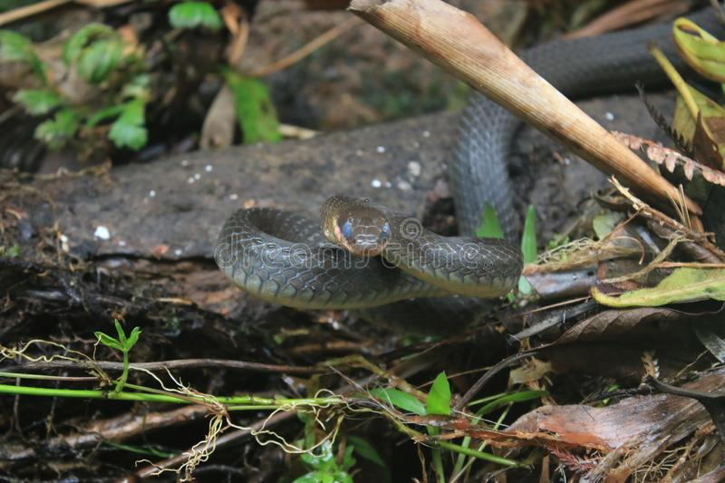 A snake of the racer family, chironius with blue eyes because it needs to shed skin ready to attack stock photos