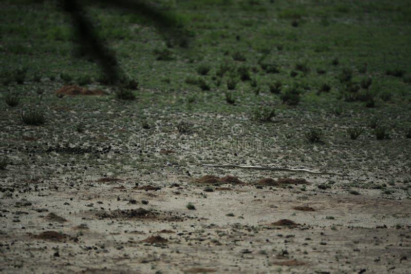 Snake in savannah in namibia royalty free stock photo