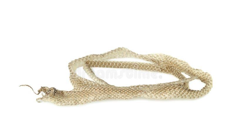 Snake shedding skin. Isolated on white background royalty free stock image