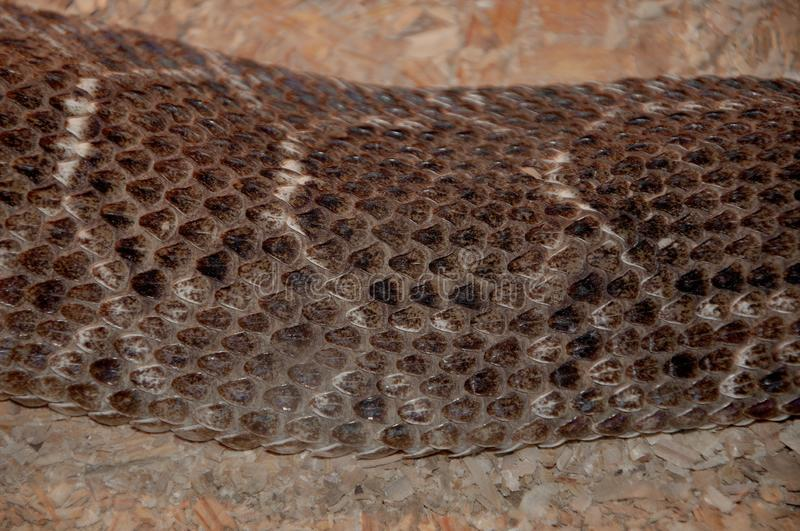 Snake skin textures. Brown snake scales  background with white stripes royalty free stock photography