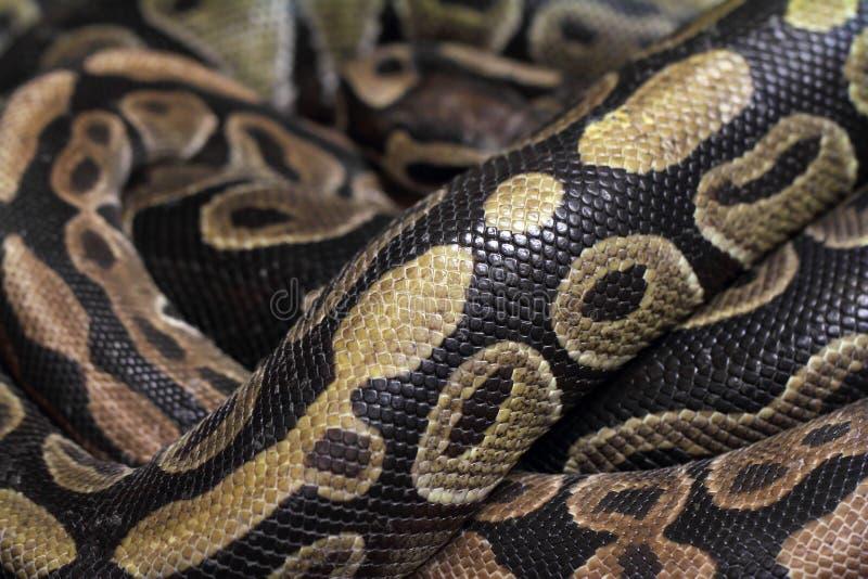 Snake skin texture. Python snake skin texture closeup royalty free stock photos