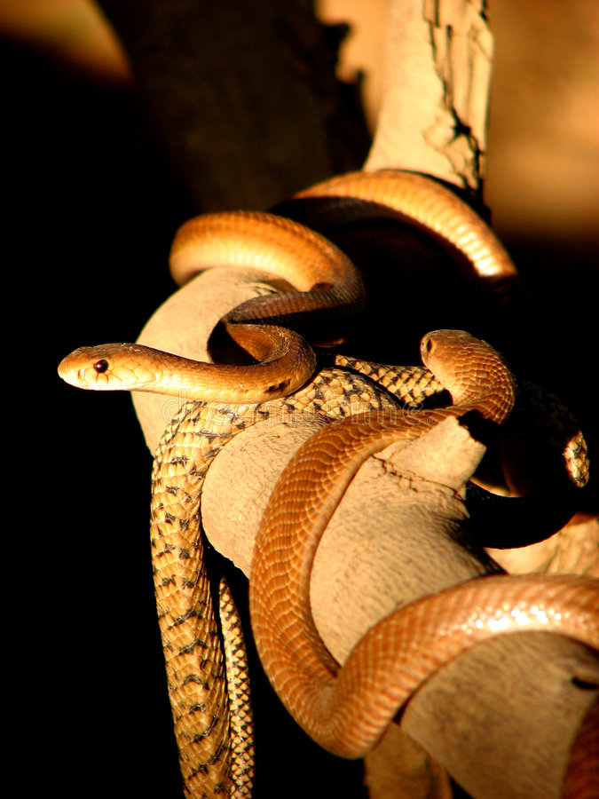 Download Snake on a Snake stock image. Image of crawling, backgrounds - 1934613