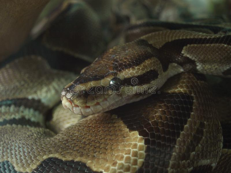 Snake. royalty free stock images