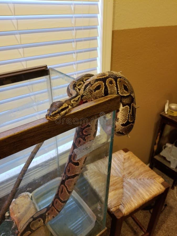 Snake. Sneaky snake, python, ballpython royalty free stock images