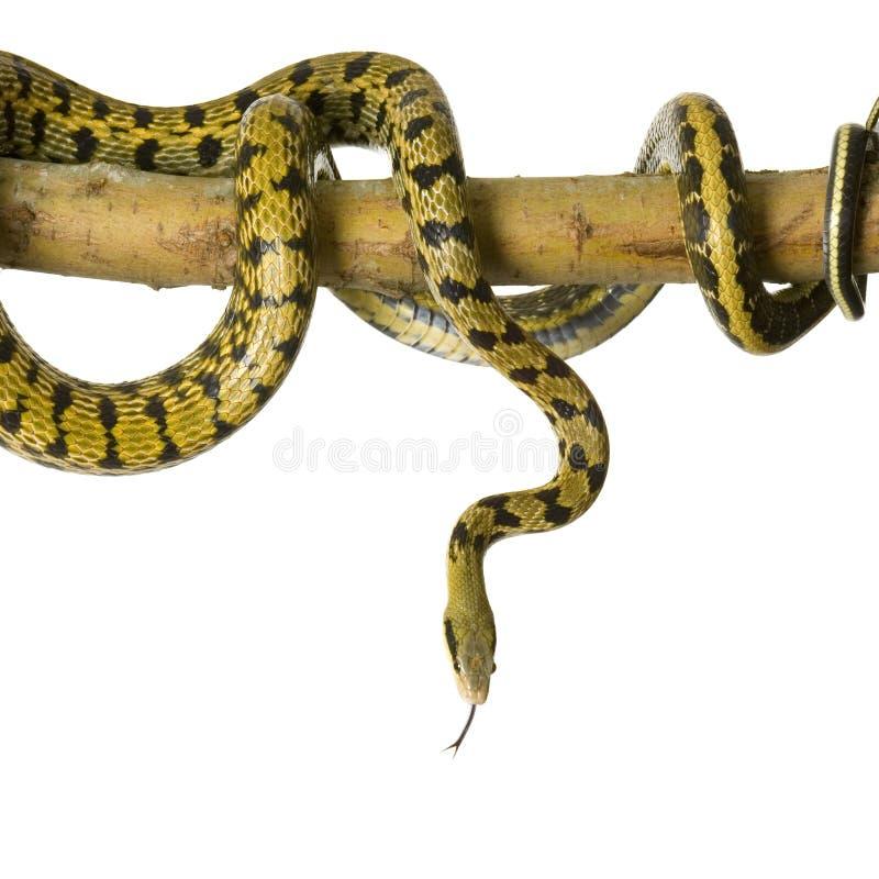 snake szczura zdjęcie royalty free