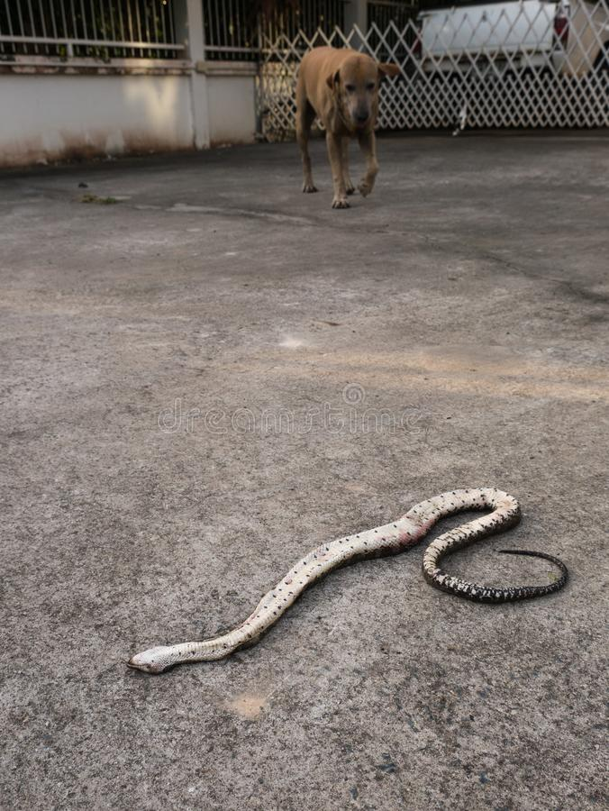 Snake was Bitten by The Dog Died in The House. The Snake was Bitten by The Dog Died in The House stock image