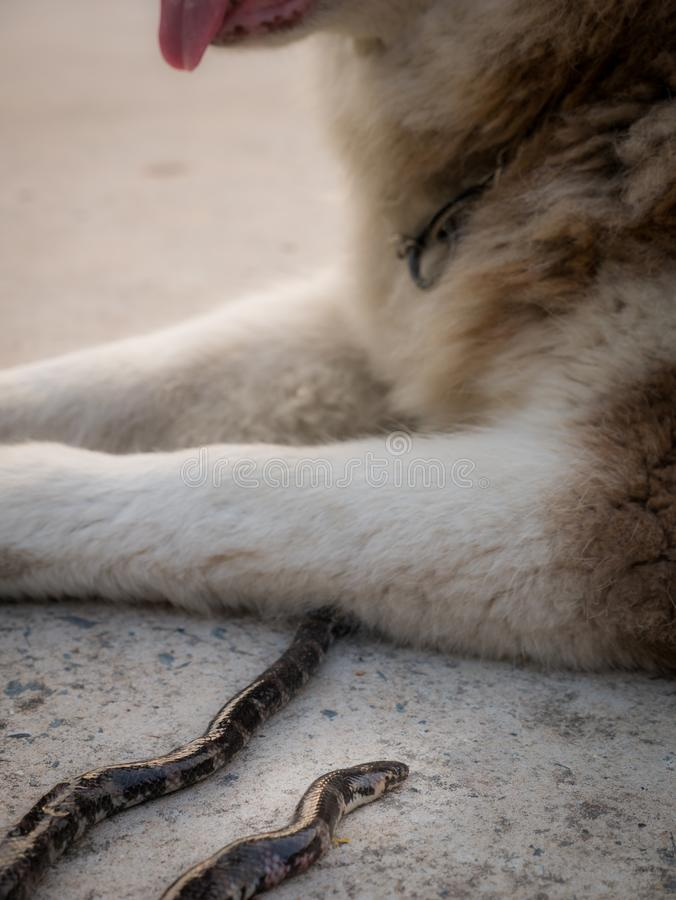 Snake was Bitten by The Dog Died. The Snake was Bitten by The Dog Died on The Road stock photography