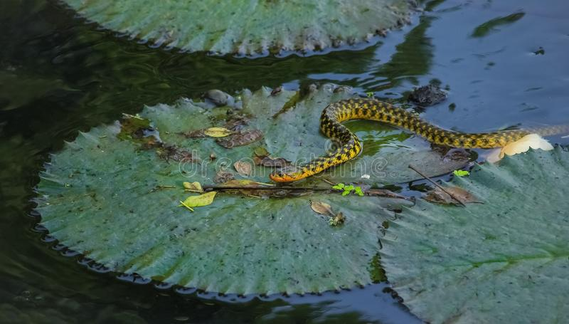 Snake With Waterlily. A beautiful snake found in a pond of a public university. This snake is searching for his food, hence not getting any food he got away to a royalty free stock image