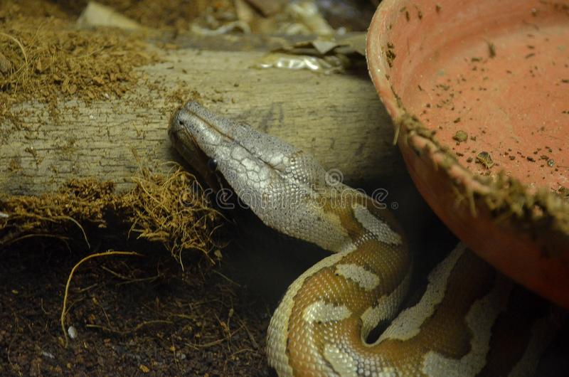 Snake in zoo. Photo, photography, animal, big, brown, long, longsnake, flexible, trio, trip, nature, dangerous, wiodal, wild, zoology stock photography
