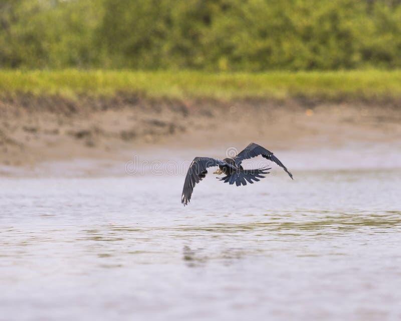 Snakebird flies away stock images