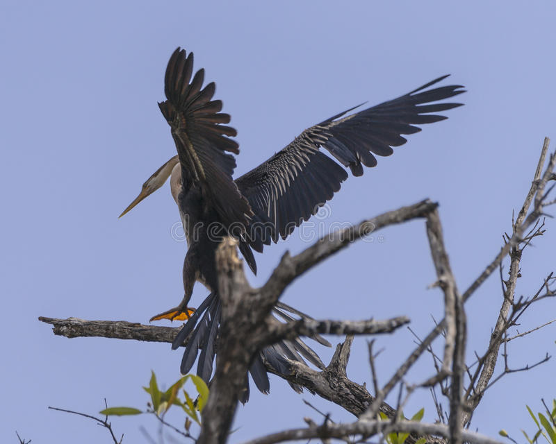Snakebird landing royalty free stock photography