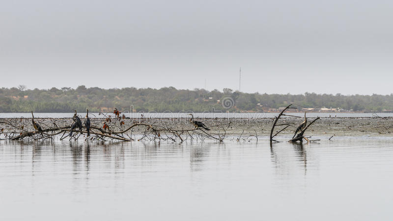 Snakebirds on river royalty free stock image