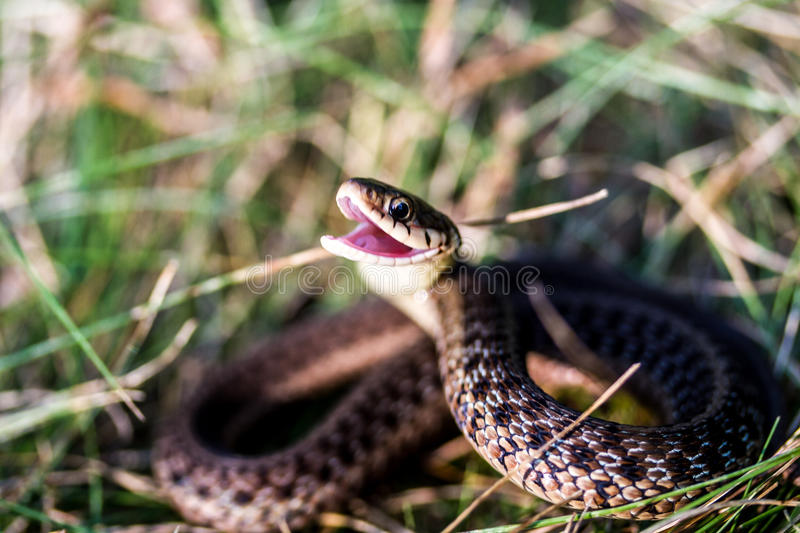 Snakebite royalty free stock image