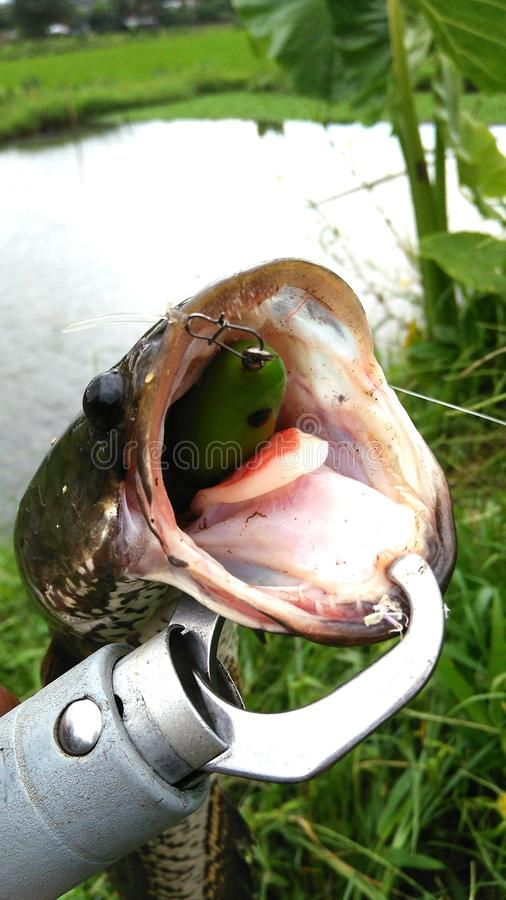 Snakehead鱼 免版税图库摄影