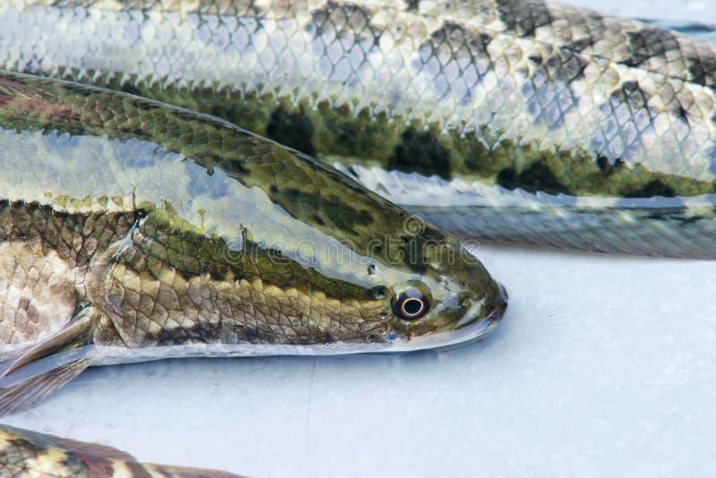 Snakehead fisk royaltyfri fotografi