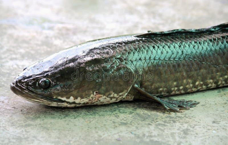 Snakehead fisk på cementbakgrund arkivbilder