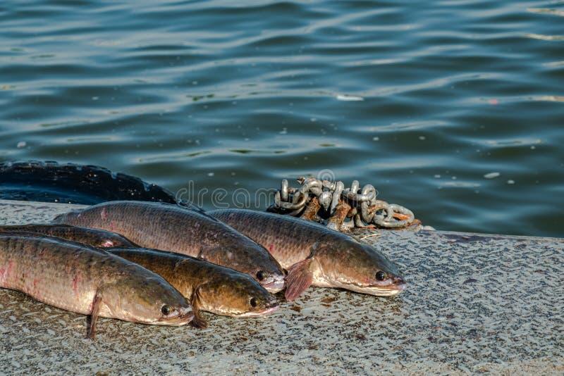 Snakeheadvissen die op de vloer van het ponton worden opgesteld stock afbeeldingen
