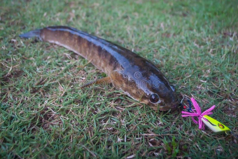 Snakeheadvissen door een visser op het gras worden gevangen dat stock foto's