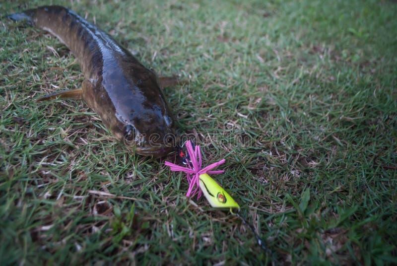 Snakeheadvissen door een visser op het gras worden gevangen dat stock afbeelding