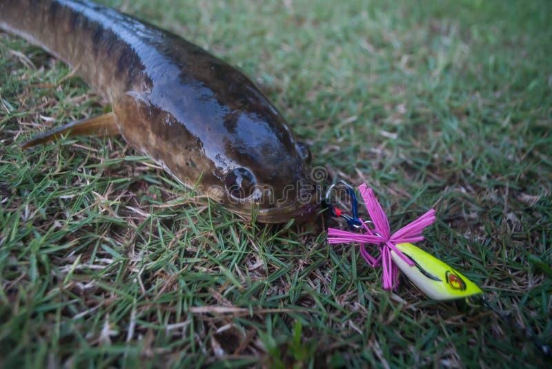 Snakeheadvissen door een visser op het gras worden gevangen dat royalty-vrije stock fotografie