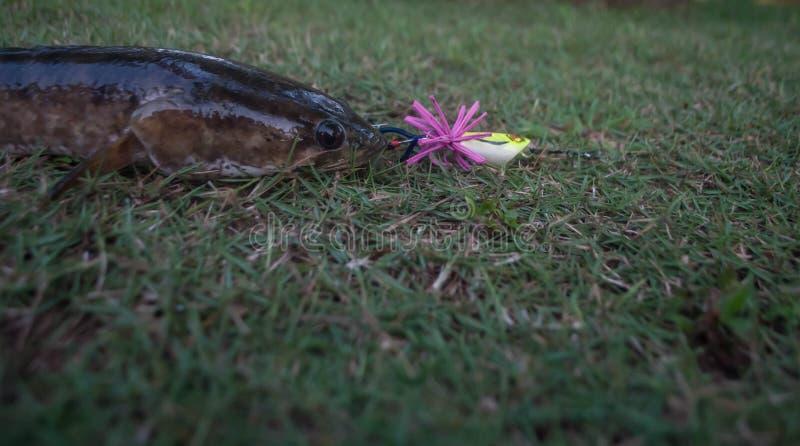 Snakeheadvissen door een visser op het gras worden gevangen dat royalty-vrije stock afbeelding