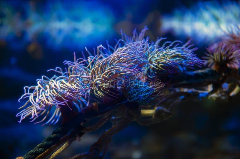 Snakelocks海葵Anemonia viridis,在一个小组的一个海洋腔肠动物命令海葵目海洋,食肉动物  免版税图库摄影