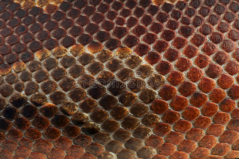 Snakeskin fotografia stock libera da diritti