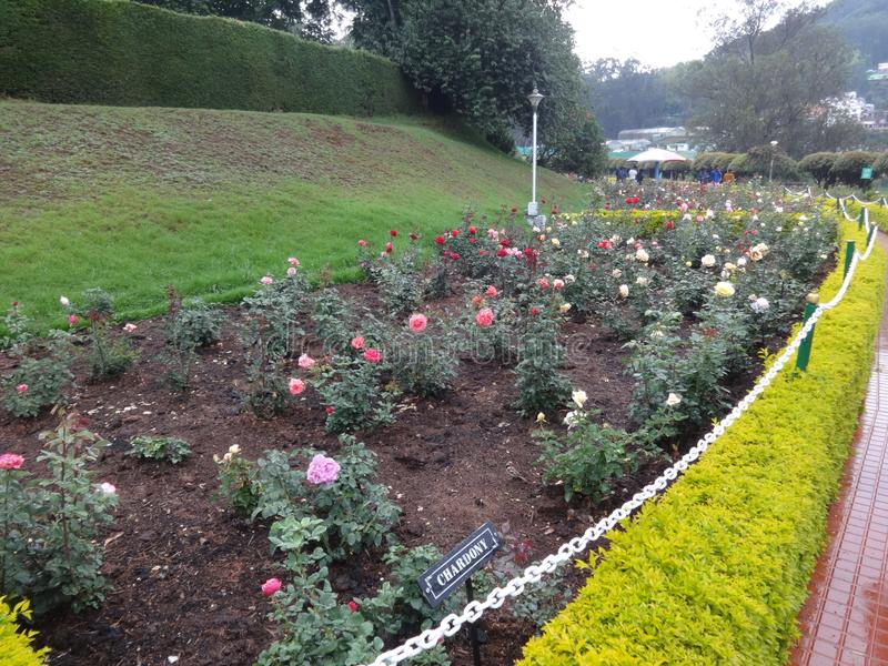 Beautiful variety of rose flower at botanical garden ooty, india. This snap is from botanical rose garden ooty, india. Awesome view of all flowers that you may royalty free stock photos