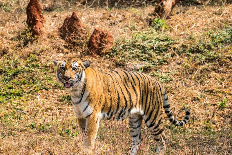 Bengal tiger close view at zoo at different position at national park. stock photos