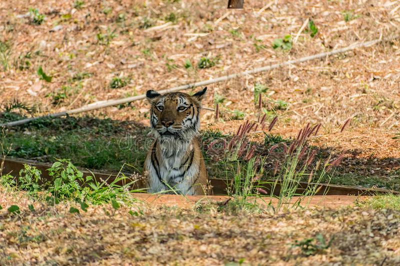 Bengal tiger close view at zoo at different position at national park. stock image