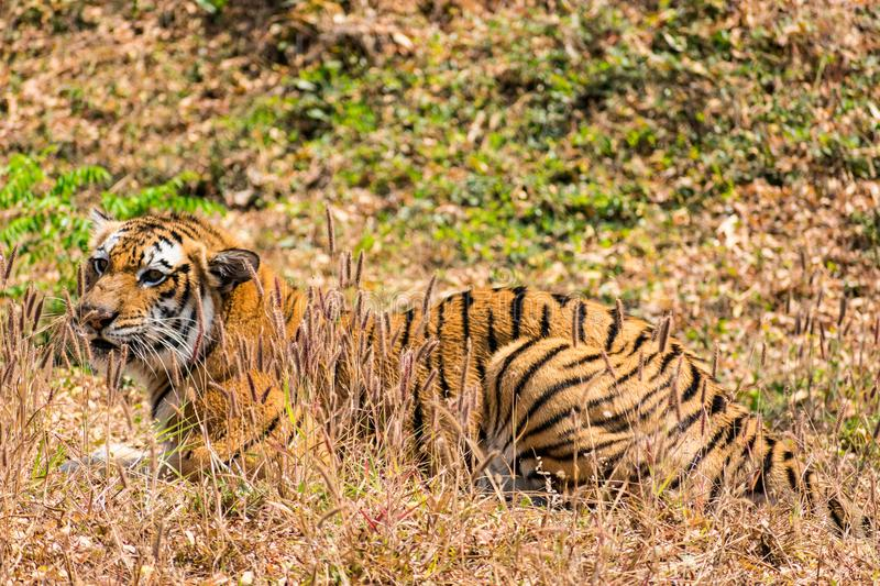 Bengal tiger close view at zoo at different position at national park. royalty free stock photos