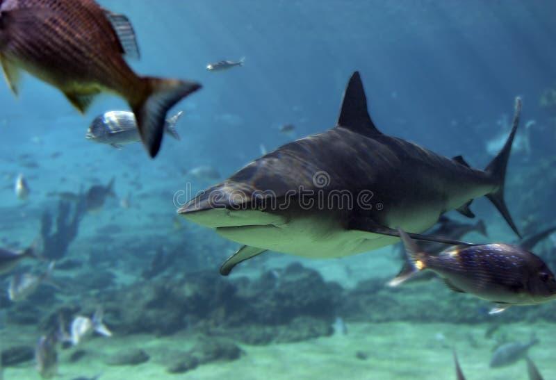 Download Snapper καρχαριών στοκ εικόνα. εικόνα από ψάρια, γκρίζος - 392593