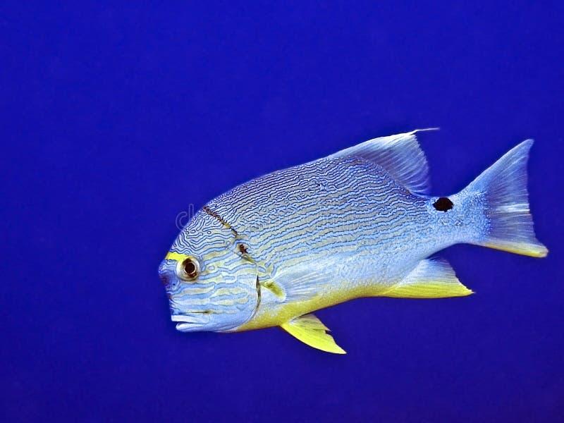 Snapper di Sailfin (spilurus di Symphorichthys) immagine stock libera da diritti