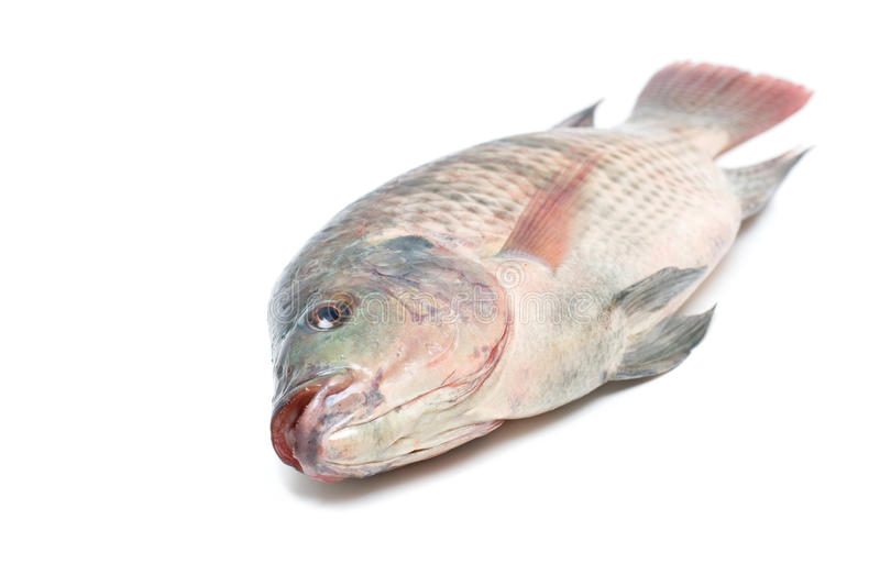 Snapper Fish isolated on white background royalty free stock images