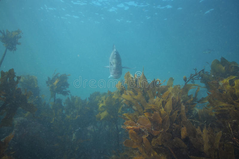 Snapper hovering above kelp. Adult snapper Pagrus auratus hovering above kelp forest close to sea surface royalty free stock photo